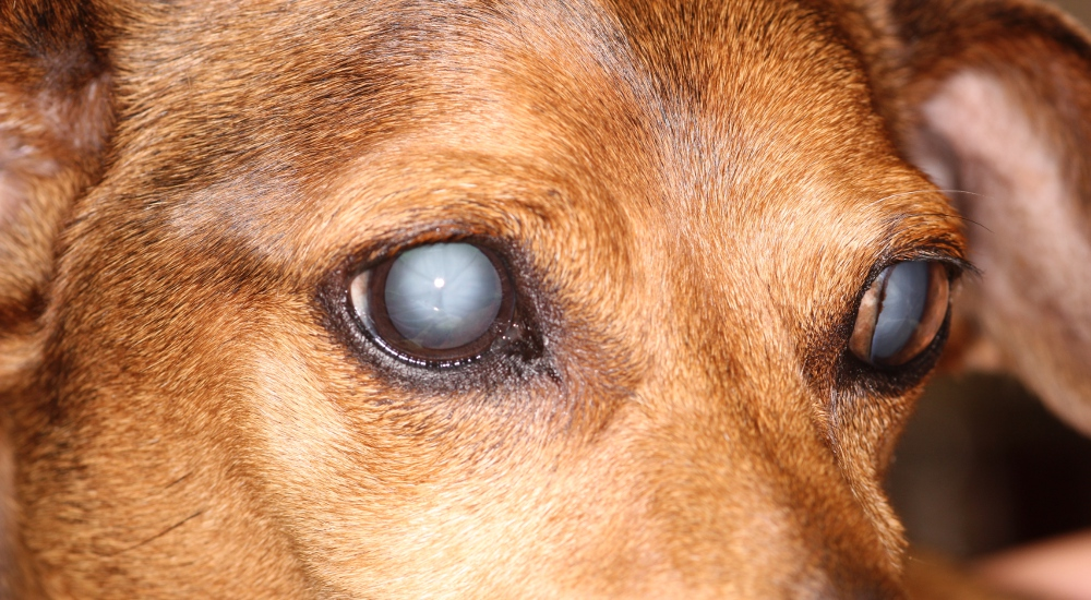 Small Film On Dog S Eye